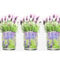 Plant in a Tin Lavender